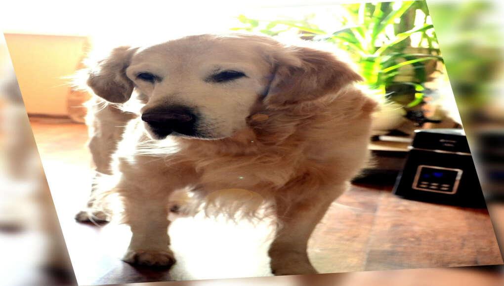 Собака -  золотистый ретривер