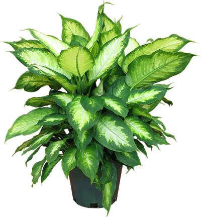 Растение в горшке большое и зеленое (Фикус, Спатифиллум, Диффенбахия,Маранта,Монстера)