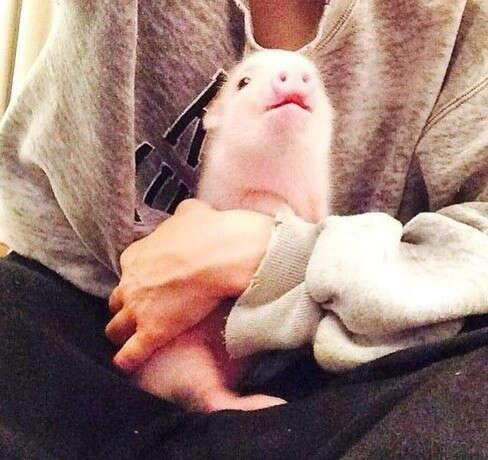 Декоративную свинку