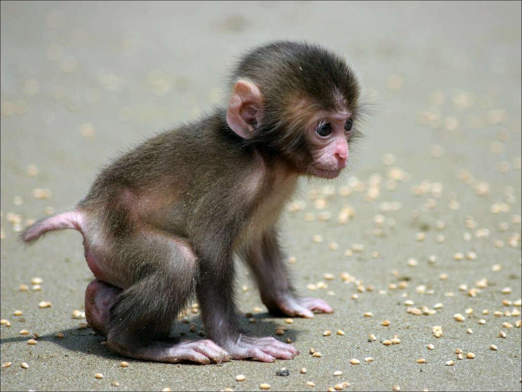 Домашнюю обезьянку