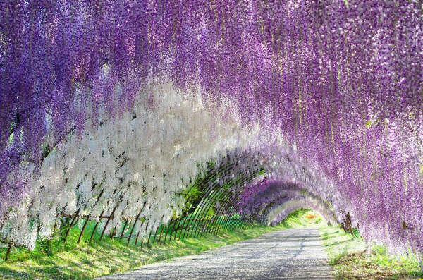 Фестиваль цветения глицинии
