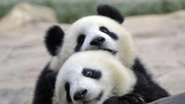 Пообниматься с пандой