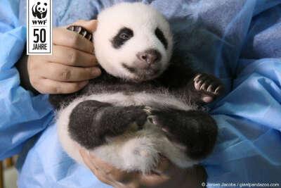 Живую панду