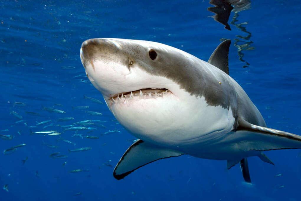 Попробовать мясо акулы