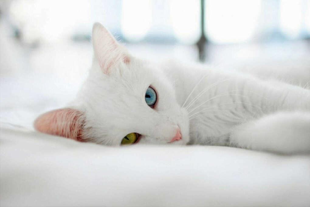 Белого с разноцветными глазами Као мани
