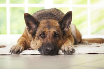 завести собаку породы немецкая овчарка