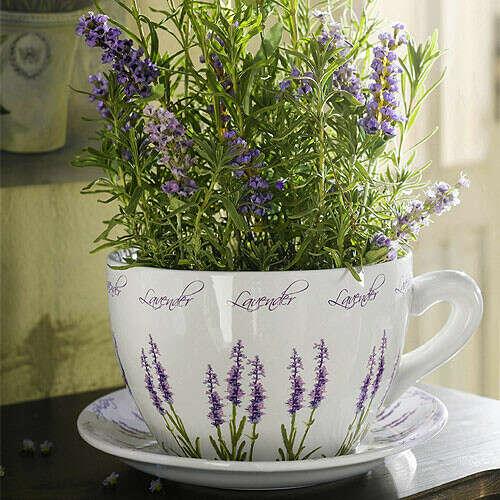 Выращивать лаванду дома