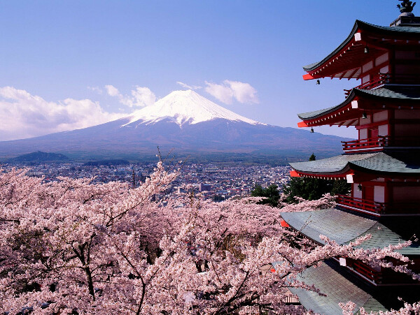 увидеть цветение сакуры