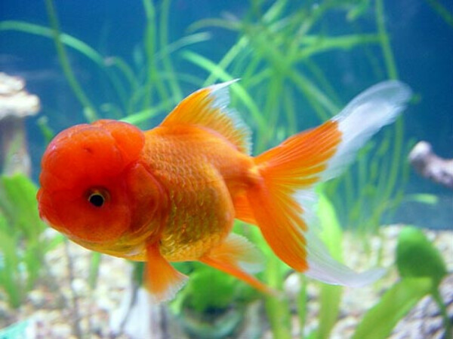 Завести золотих рибок ОРАНД