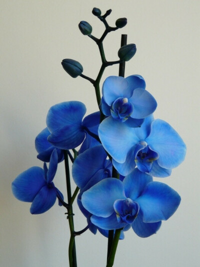 Синяя орхидея Фаленопсис в горшке