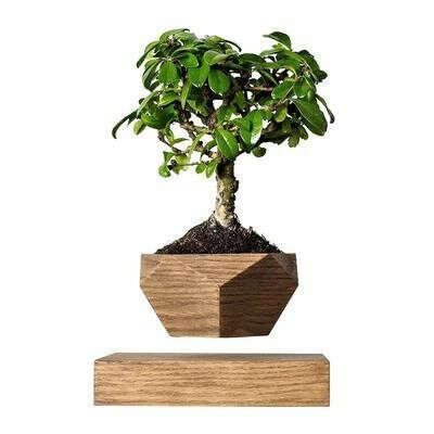 Растение левитирующее Levitera Леплант Wood бонсай темный дуб