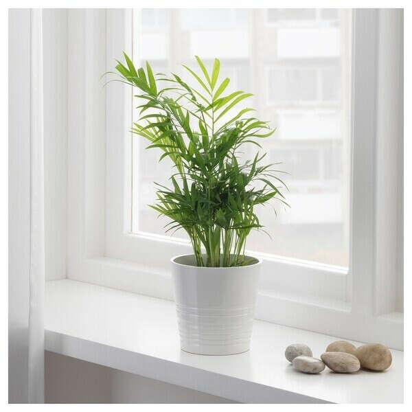 ХАМЕДОРЕЯ ЭЛЕГАНС Растение в горшке - Хамедорея изящная - IKEA