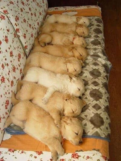 Много маленьких щенков!