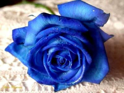 Синюю розу