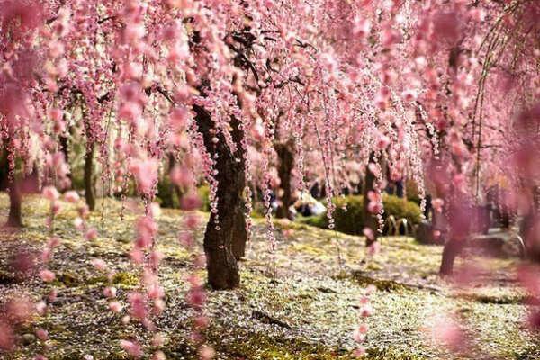 Увидеть цветение сакуры в Японии