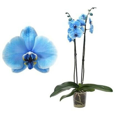 Растение Орхидея Фаленопсис Роял Блю