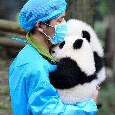 Обнять детёнышей панд