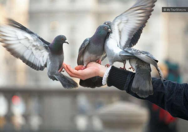 Покормить голубей