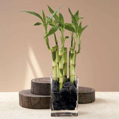Вырастить домашний бамбук