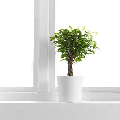 ФИКУС БЕНДЖАМИНА 'НАТАША' Растение в горшке - IKEA