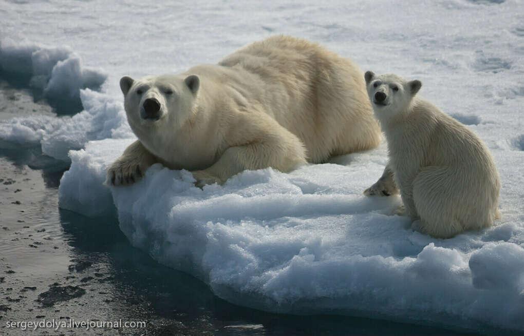 Экспедиция в Арктику к белым медведям