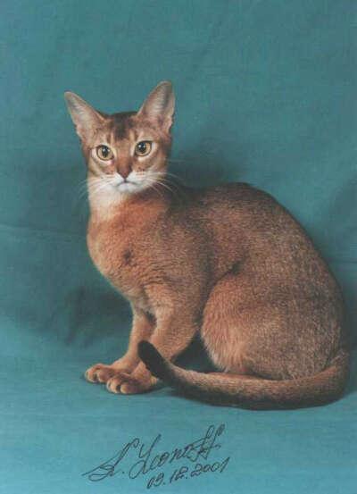 Абиссинская кошка (или кот) дикого окраса