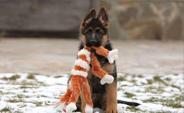 Завести немецкую овчарку