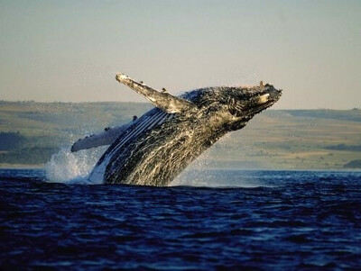 Увидеть кита (-ов)