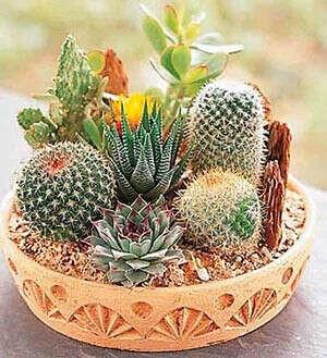 Коллекцию маленьких кактусов