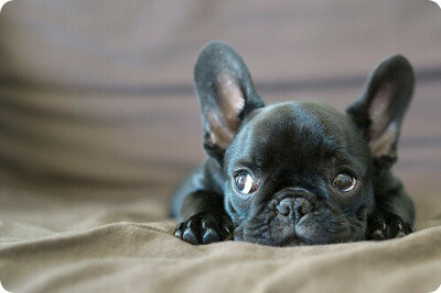 Хочу собаку породы французский бульдог черного с белыми пятнышками