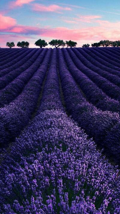 Lavander fields, Provence