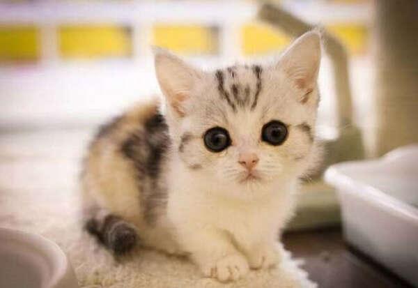Манчкин коротколапая кошка: фото, цена, описание породы, характер, видео, питомники