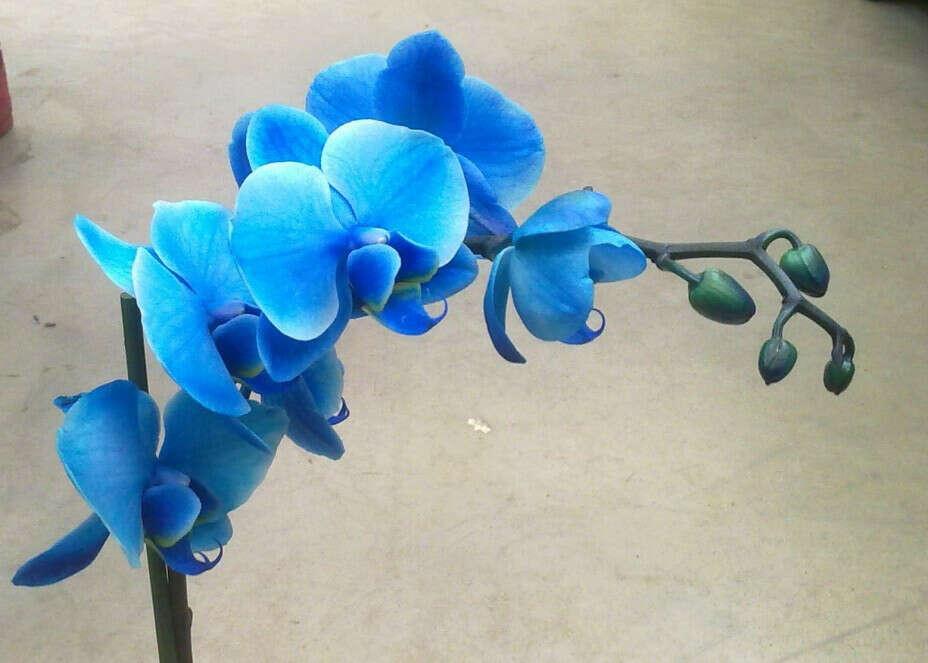 Синия Орхидея