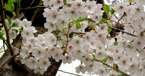 2019 Japan Cherry Blossom Forecast