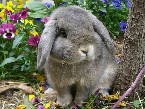 декоративного кролика