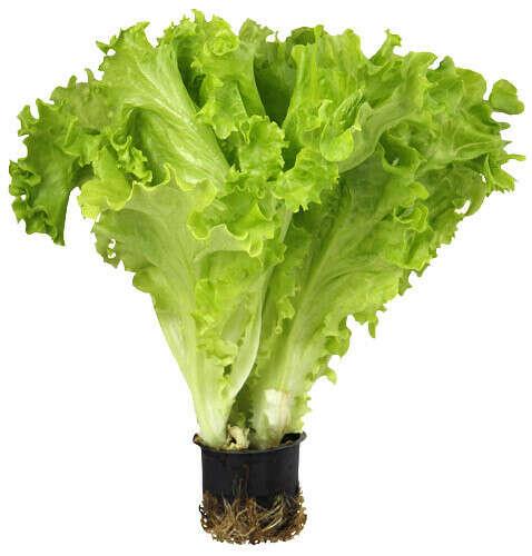 вырастить салат в горшке