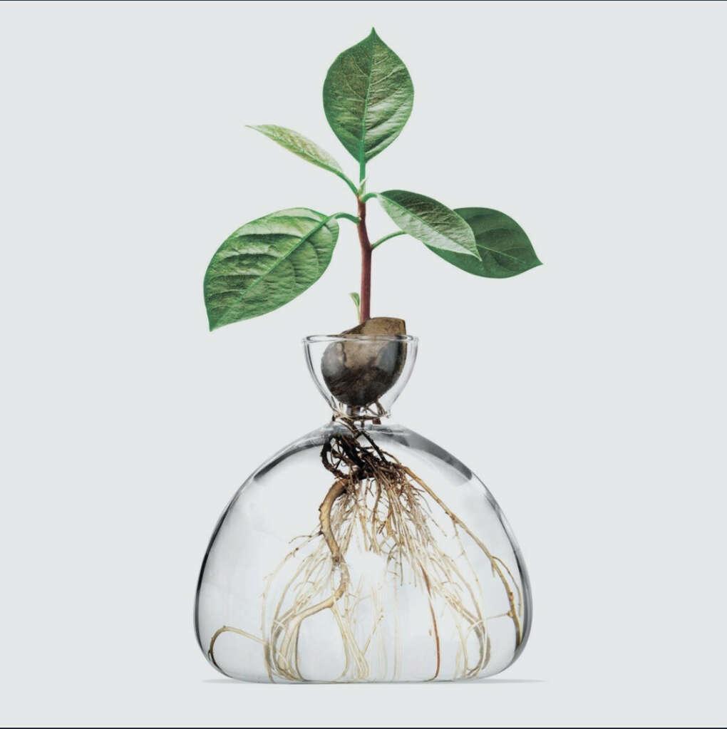 Авокадо ваза