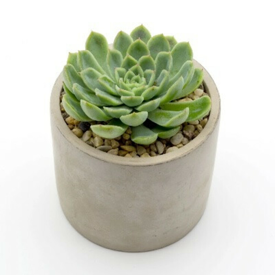 Succulent in a Concrete Pot
