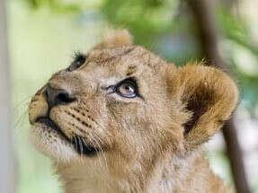 Погладить львенка