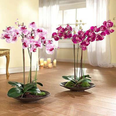 красивая пышная орхидея