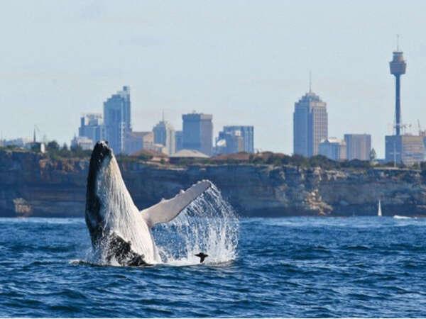 Увидеть кита в бухте Сиднея