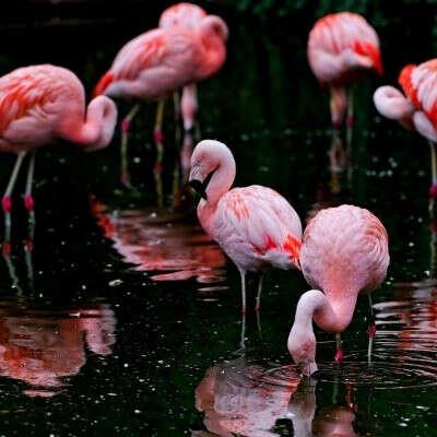 Погладить фламинго