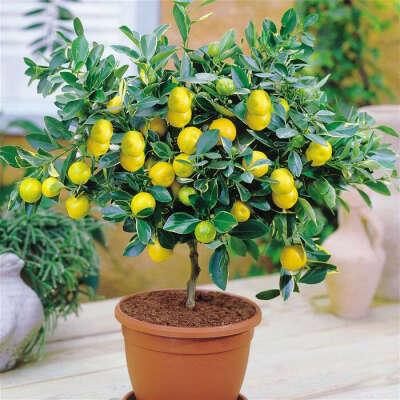 Домашнее лимонное дерево