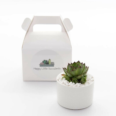HAPPY LITTLE SUCCULENTS Mini Succulent