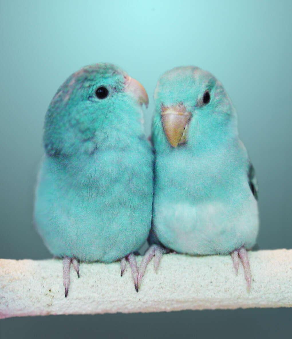 Бирюзового попугайчика