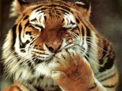 Обнять тигра :3