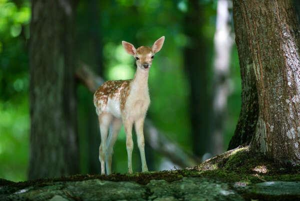 Увидеть оленя в лесу
