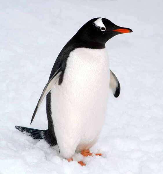 Обнять пингвина и почесать ему пузико :З