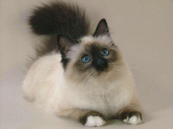 Бирманского кота