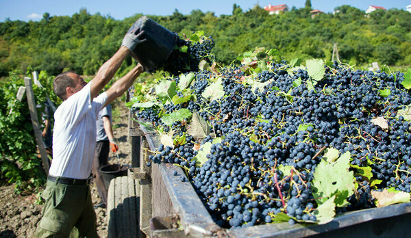 Побывать на празднике сбора винограда